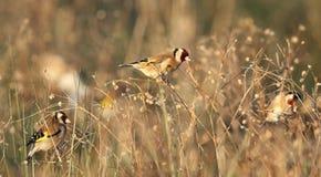 Uccelli del Goldfinch nel campo Immagini Stock