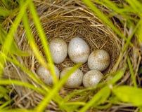Uccelli del Jack con le uova Fotografia Stock Libera da Diritti