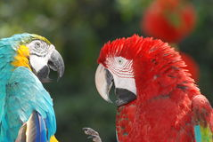Uccelli del Macaw Fotografia Stock