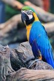 Uccelli del Macaw [ararauna del Ara] Fotografie Stock