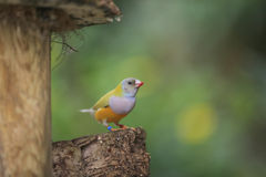 Uccelli del Madagascar Fotografia Stock
