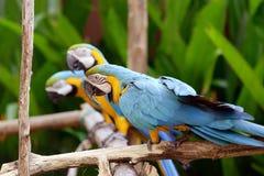 Uccelli del pappagallo Fotografie Stock