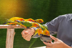 Uccelli del pappagallo di conuro di Sun che mangiano alimentazione a disposizione Immagini Stock