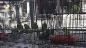Uccelli del pappagallo in gabbia archivi video