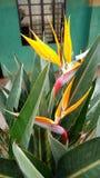 Uccelli del paradiso Immagine Stock