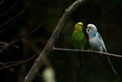 Uccelli del Parakeet nella conversazione Fotografia Stock Libera da Diritti