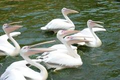 Uccelli del pellicano Fotografie Stock Libere da Diritti