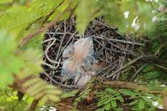 Uccelli del piccione che annidano nel giardino immagini stock libere da diritti
