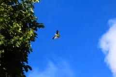 Uccelli del piccione che volano con pochi rami di albero per l'incastramento nel Immagine Stock Libera da Diritti