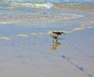 Uccelli del piovanello Fotografia Stock