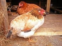 Uccelli del pollo Fotografia Stock