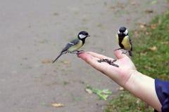 Uccelli del Tit Immagini Stock Libere da Diritti