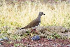 Uccelli dell'Africa: Piviere Fotografie Stock Libere da Diritti
