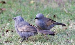Uccelli dell'apostolo in Australia Fotografie Stock