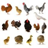 Uccelli dell'azienda agricola Immagine Stock