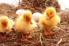 Uccelli dell'azienda agricola Fotografia Stock