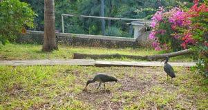 Uccelli dell'ibis in giardini africani Fotografie Stock