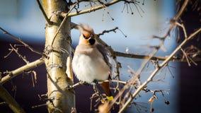 Uccelli dell'inverno: waxwing variopinto su un ramo di albero un giorno di inverno soleggiato contro fondo vago Fotografia Stock Libera da Diritti