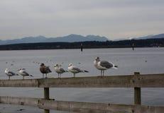 Uccelli dell'oceano Pacifico a Vancouver BC Fotografia Stock
