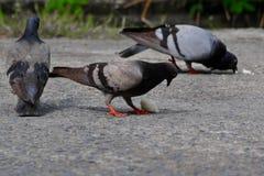 Uccelli della colomba che mangiano il riso del grano Fotografia Stock Libera da Diritti