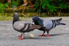Uccelli della colomba che mangiano il riso del grano Immagine Stock Libera da Diritti