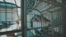 Uccelli della colomba in gabbia video d archivio