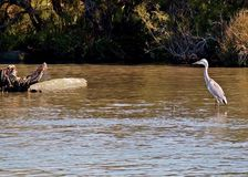 Uccelli della Francia Camargue sul fiume RhÃ'ne Fotografia Stock Libera da Diritti