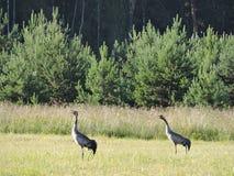 Uccelli della gru Fotografia Stock
