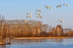 Uccelli della mosca del lago swans Immagini Stock