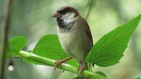 Uccelli della natura, passero su un ramo archivi video