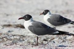 Uccelli della spiaggia Immagini Stock Libere da Diritti