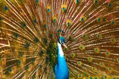 Uccelli della Tailandia Pavone con le piume fuori animali Viaggio, T Immagine Stock