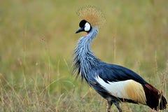 Uccelli della Tanzania Immagini Stock Libere da Diritti