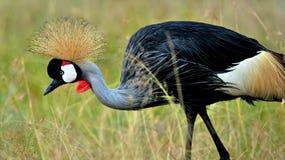 Uccelli della Tanzania Immagine Stock Libera da Diritti