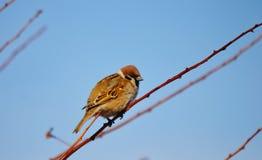 Uccelli delle steppe Immagine Stock Libera da Diritti