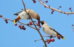 Uccelli delle steppe Fotografie Stock