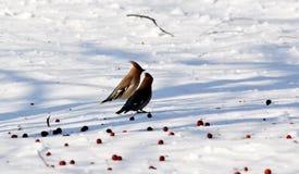 Uccelli delle steppe Immagine Stock