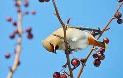 Uccelli delle steppe Fotografia Stock