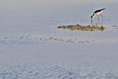 Uccelli delle zone umide del coltellinaio Bay Immagini Stock Libere da Diritti