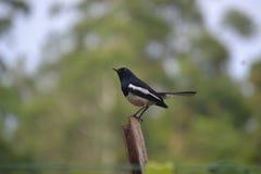 Uccelli dello Sri Lanka Immagini Stock Libere da Diritti