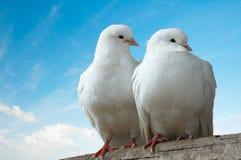 Uccelli di amore Immagini Stock