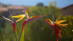 Uccelli di baciare di paradiso Immagini Stock Libere da Diritti