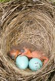 Uccelli di bambino Immagine Stock Libera da Diritti