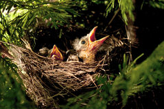 Uccelli di bambino affamati Fotografie Stock Libere da Diritti