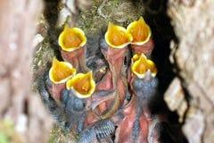 Uccelli di bambino affamati Fotografia Stock Libera da Diritti