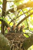Uccelli di bambino affamati che aspettano alimento in nido in primavera immagine stock libera da diritti