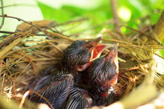 Uccelli di bambino affamati neonati Immagine Stock Libera da Diritti