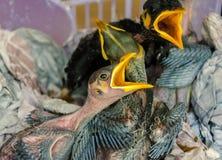 Uccelli di bambino affamati in nido Immagine Stock