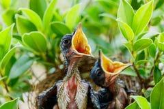 Uccelli di bambino affamati in un nido che vuole l'uccello della madre venire Immagine Stock