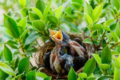 Uccelli di bambino affamati in un nido che vuole l'uccello della madre venire Immagini Stock